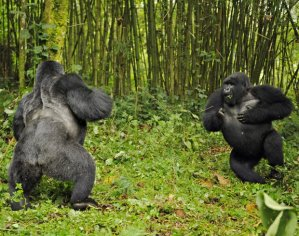 Gorillas beating chests